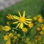 Blüte des Jacobskreuzkraut